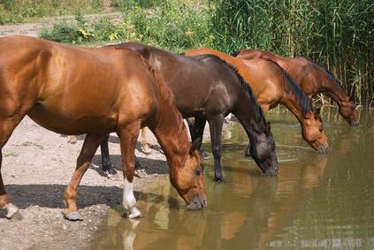 סוסים פראיים